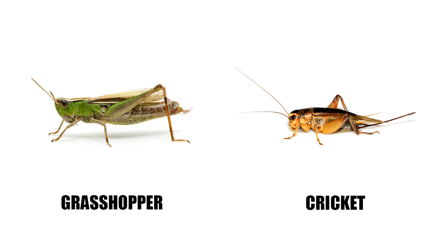 crickets vs grasshoppers