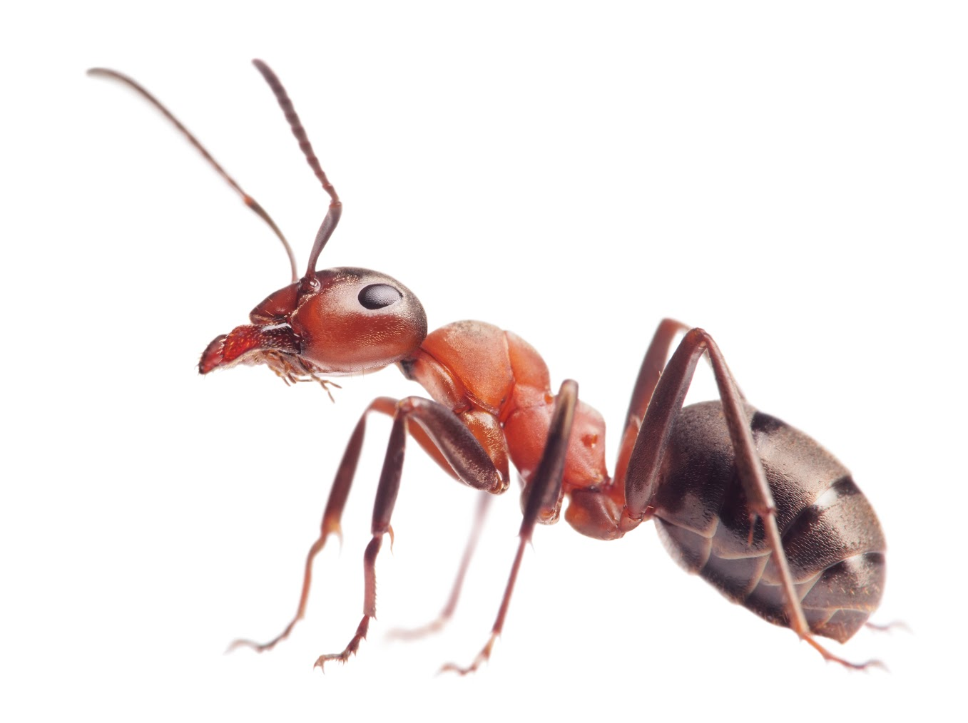 What does a queen fire ant look like 10