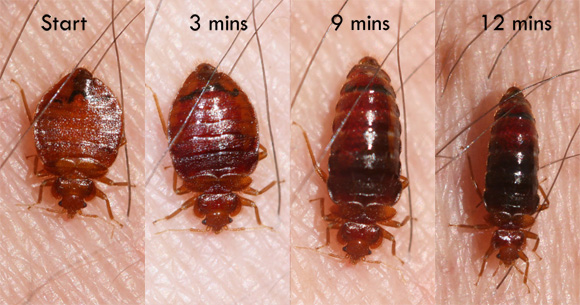 How Long Can Bed Bugs Survive Without A Food Source