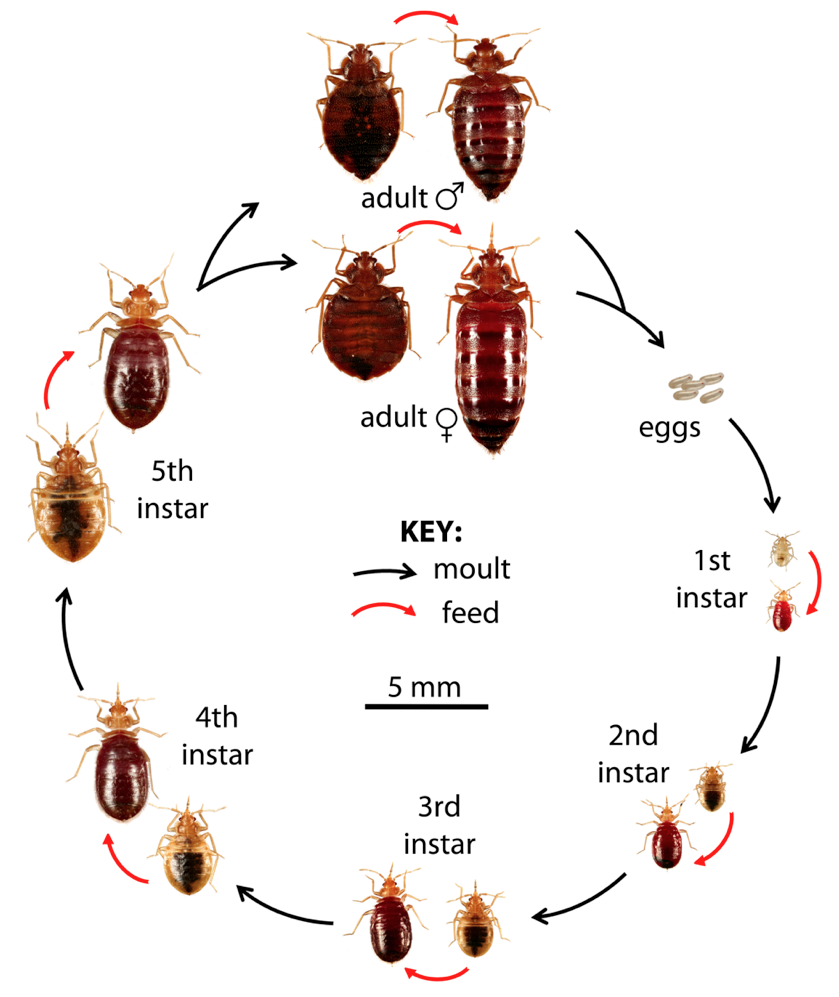 Baby Bed Bugs Pictures Size and How to Identify Bites