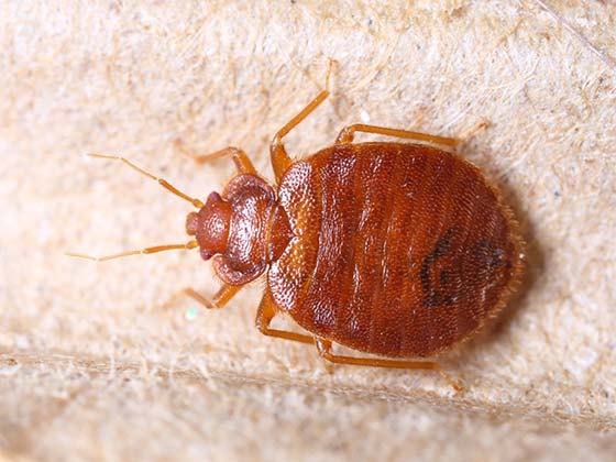 Do you have bed bugs in your home  A treatment by a professional pest  control company may not be in your budget or work with your schedule. How To Get Rid of   Kill Bed Bugs   DIY Bed Bug Treatment