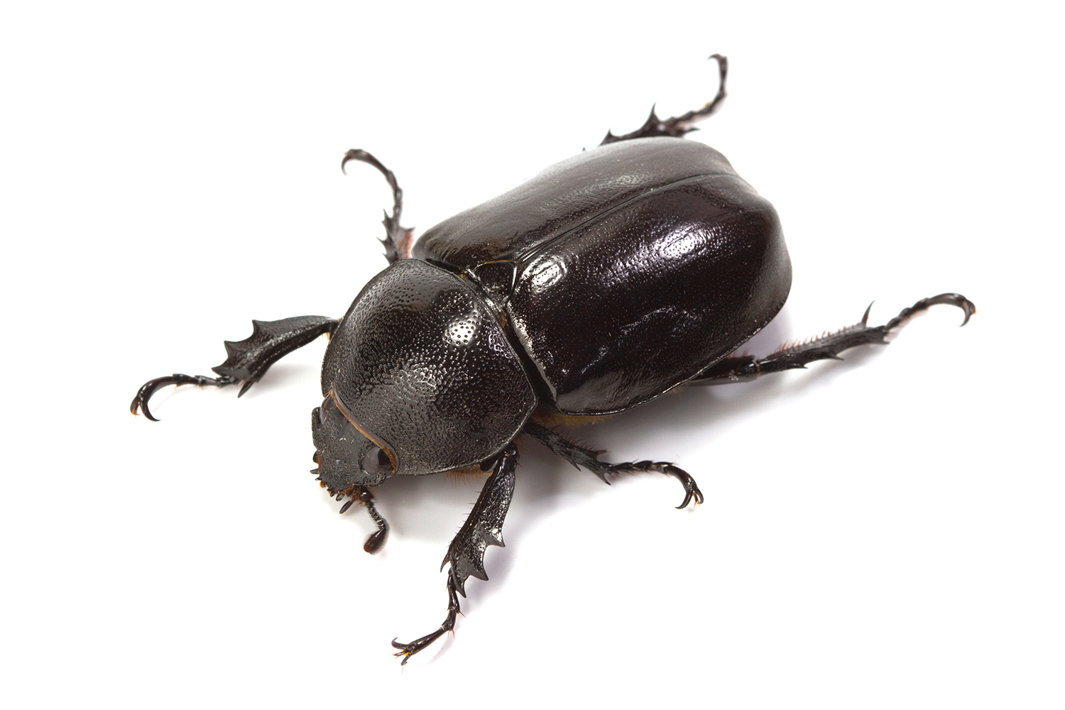 Beetles - How To Get Rid Of, Kill & Control Beetles