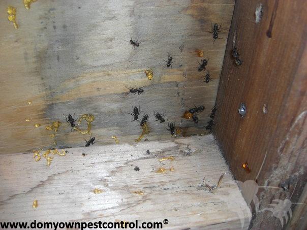 Carpenter Ants Sawdust Piles ~ Carpenter ant control killer