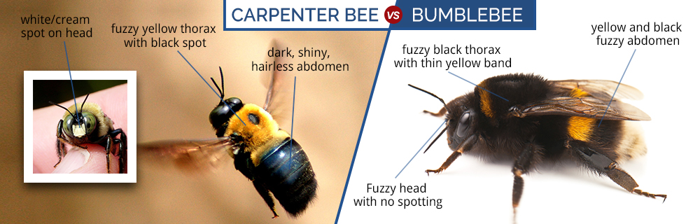 What Do Carpenter Bees Look Like Carpenter Bee Identification Life Cycle Amp An
