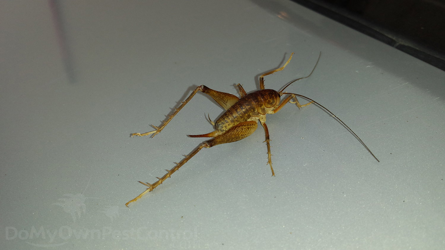 camel cricket picture 1