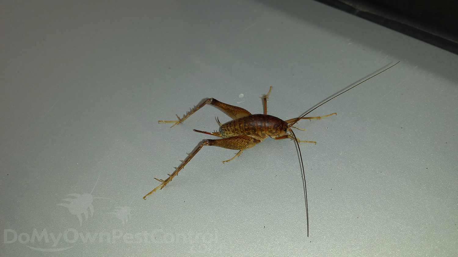 Natural Way To Get Rid Of Cave Crickets