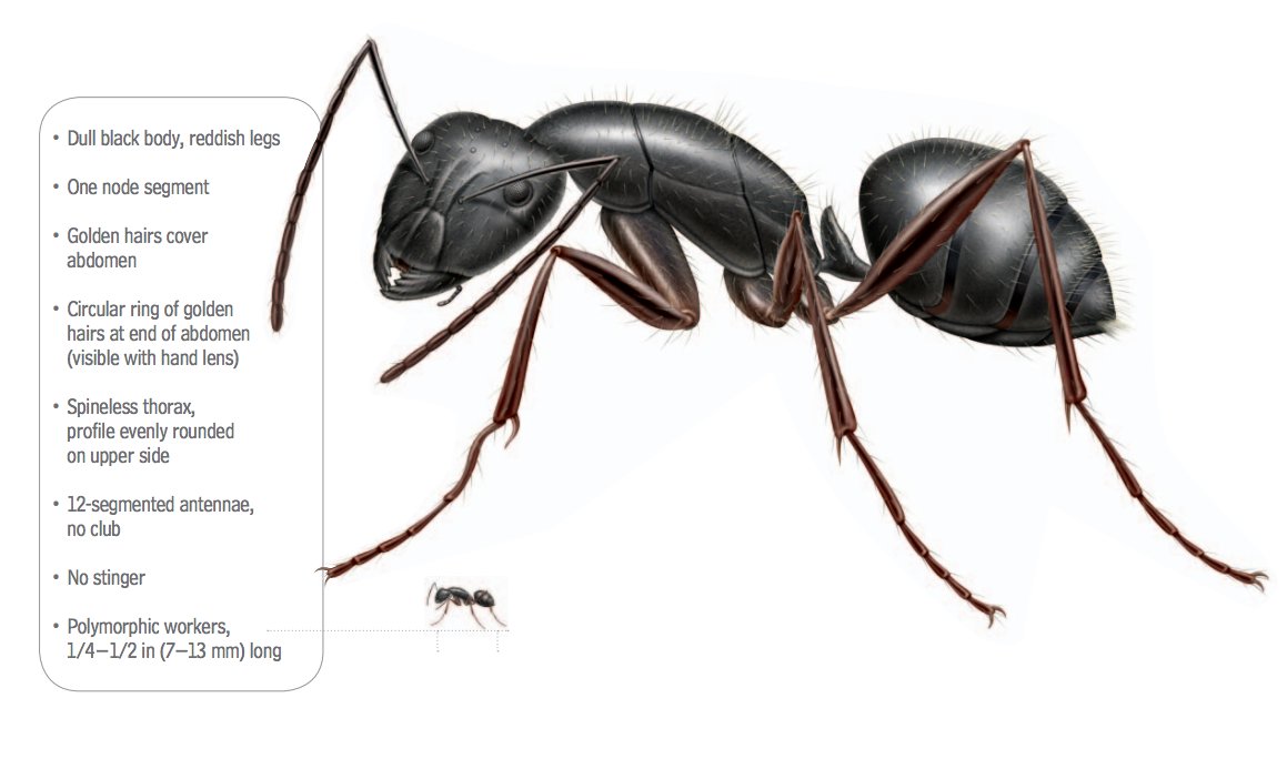 What Do Carpenter Ants Look Like Carpenter Ants Identification