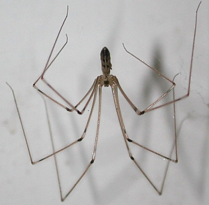 Cellar spiders cellar spider control vibrating spider for How to stop spiders entering your house