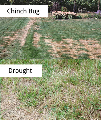 how to tell if you have lawn beetles