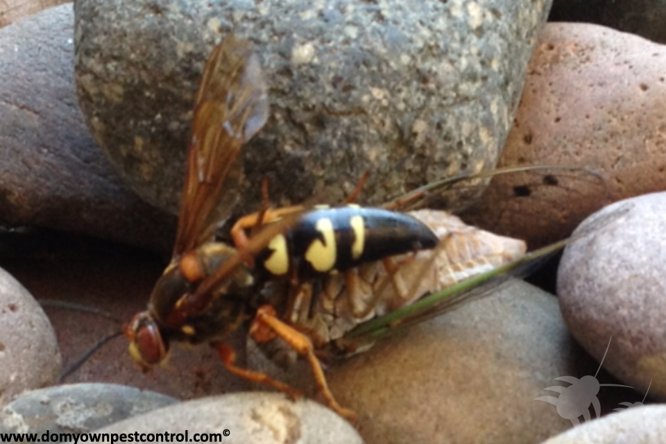 how to get rid of cicada bugs