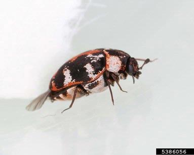 common carpet beetle picture 2