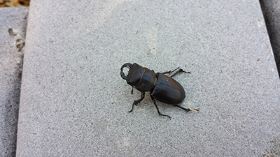 cottonwood stag wood beetle picture