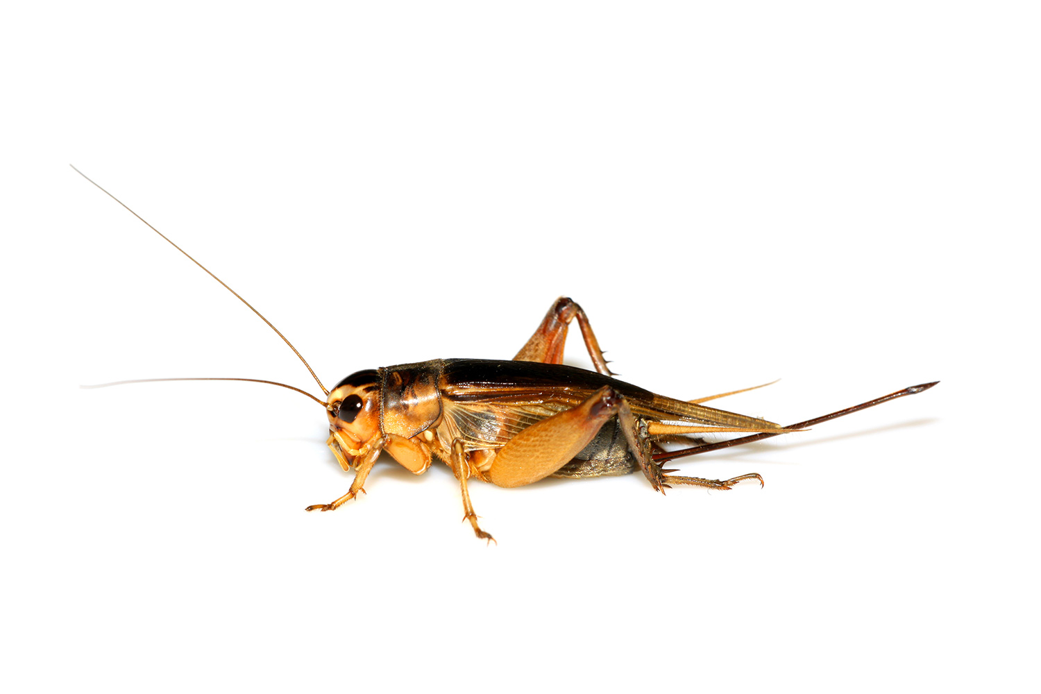 crickets | how to control & get rid of crickets | domyown