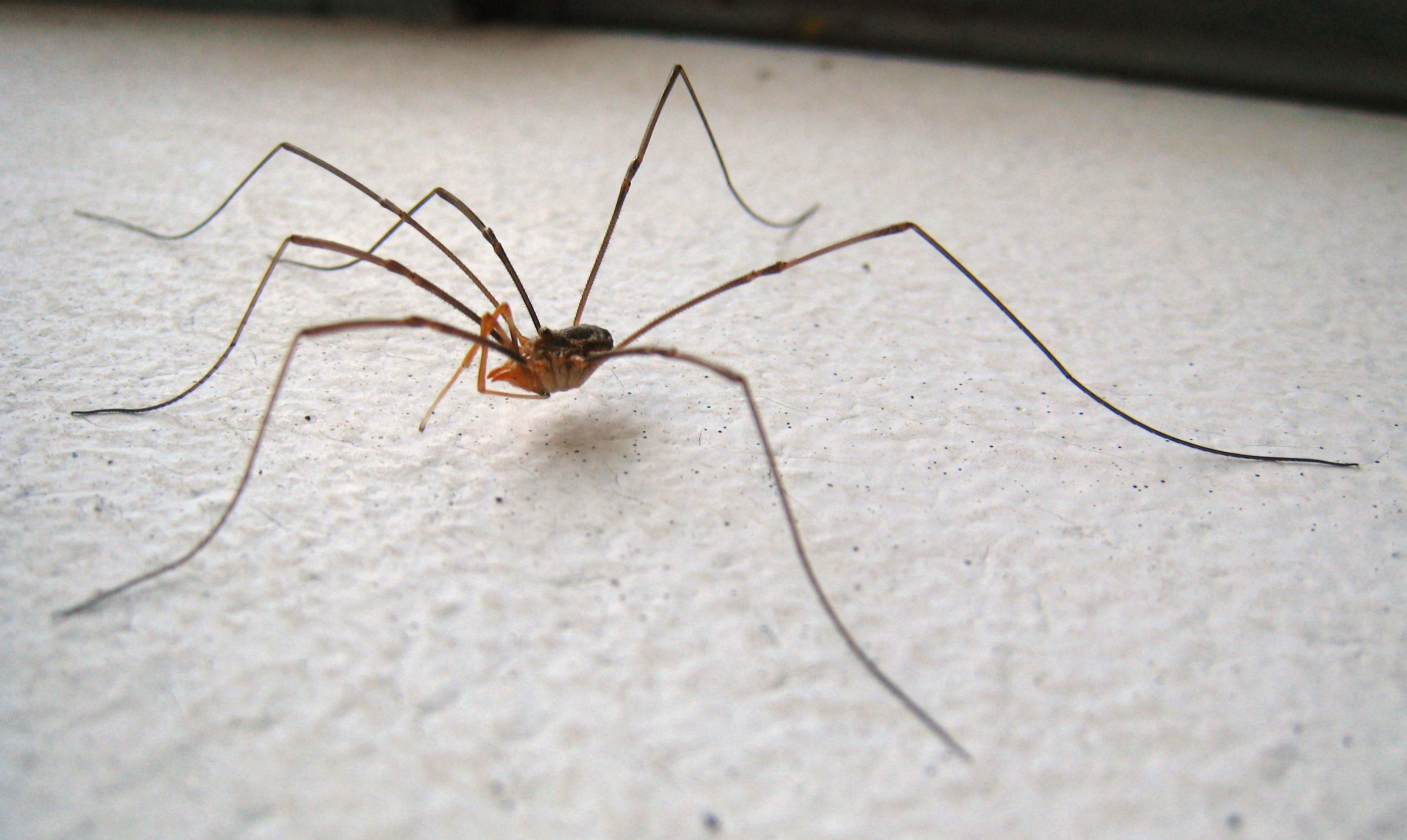 Daddy long legs spider harvestman are daddy long legs for Araignees de maison