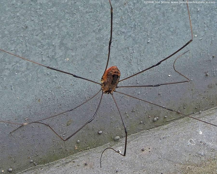 [Image: daddy_long_leg_spider_harvestman_picture_5.JPG]