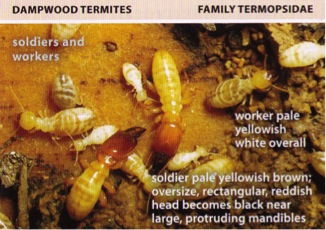 Termites All About Termites Facts Life Cycle