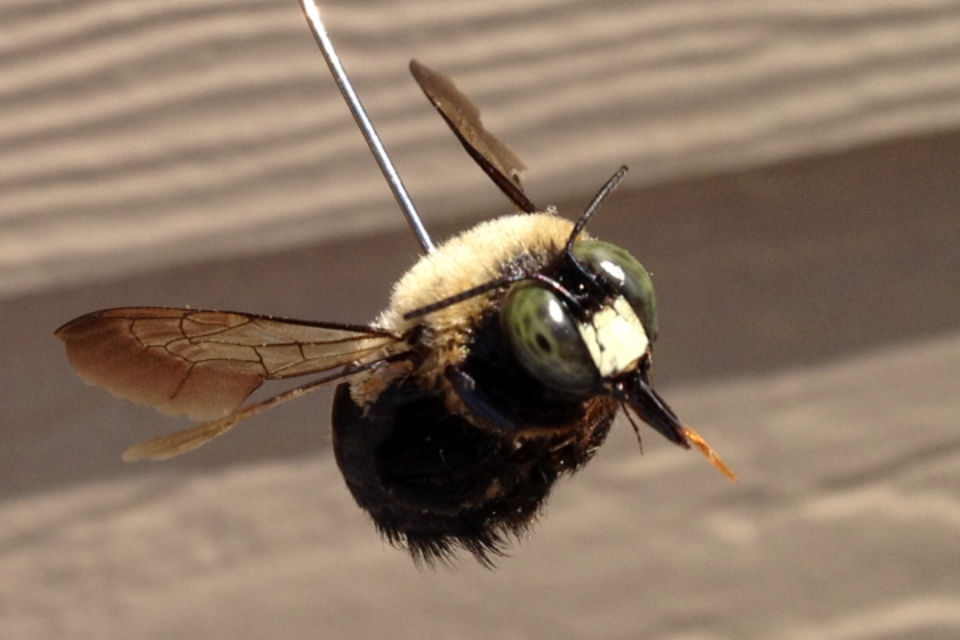 How To Carpenter Bees