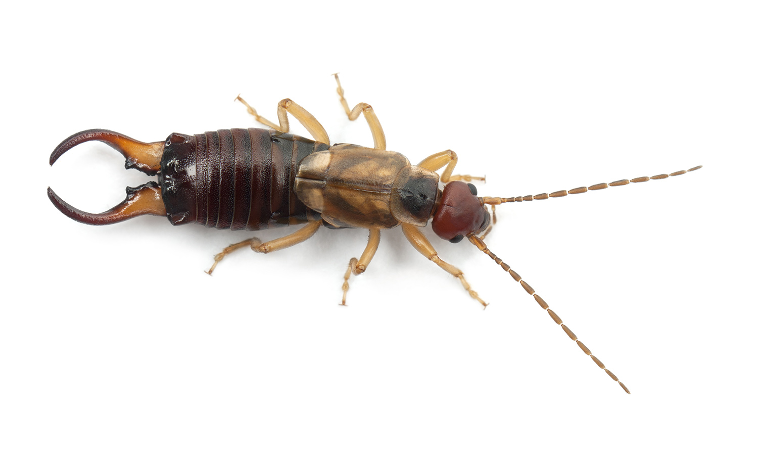 earwigs how to get rid of kill control earwig bugs