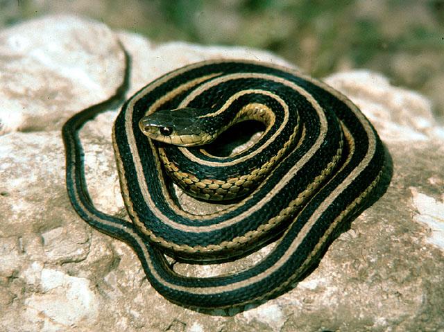 Snake control snake poison