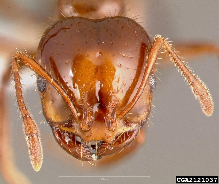 Fire ants red ants killer control how to get rid of kill fire ant pictures ccuart Choice Image