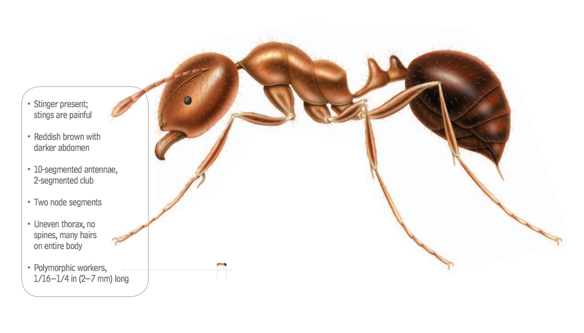 What Do Fire Ants Look Like | Fire Ant Identification Guide
