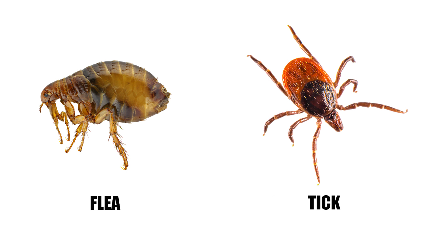 CHAPTER 4 Bedbugs fleas lice ticks and mites