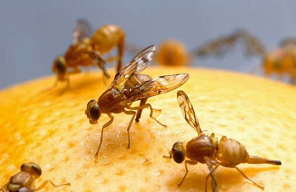 fruit flies 1