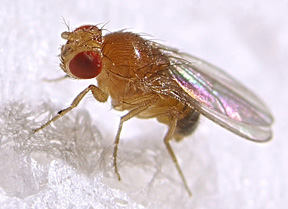 fruit flies 4