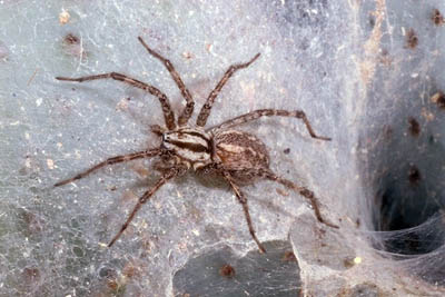 When to spray for brown recluse spiders