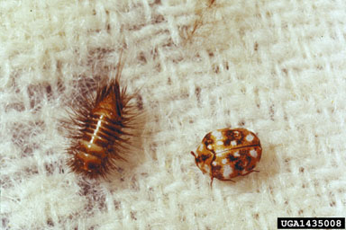 furniture carpet beetle adult & larvae 2