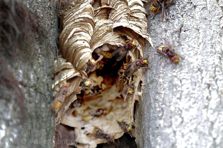 Giant European Hornet Control European Hornet Nest