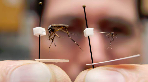 How To Get Rid Of Giant Gallinipper Mosquitoes Control