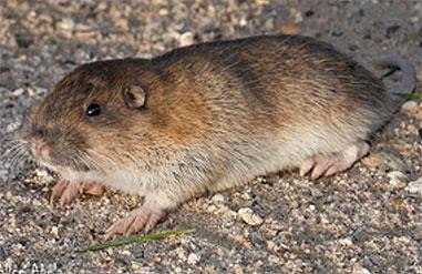 Mole Droppings What Does Mole Poop Like Like