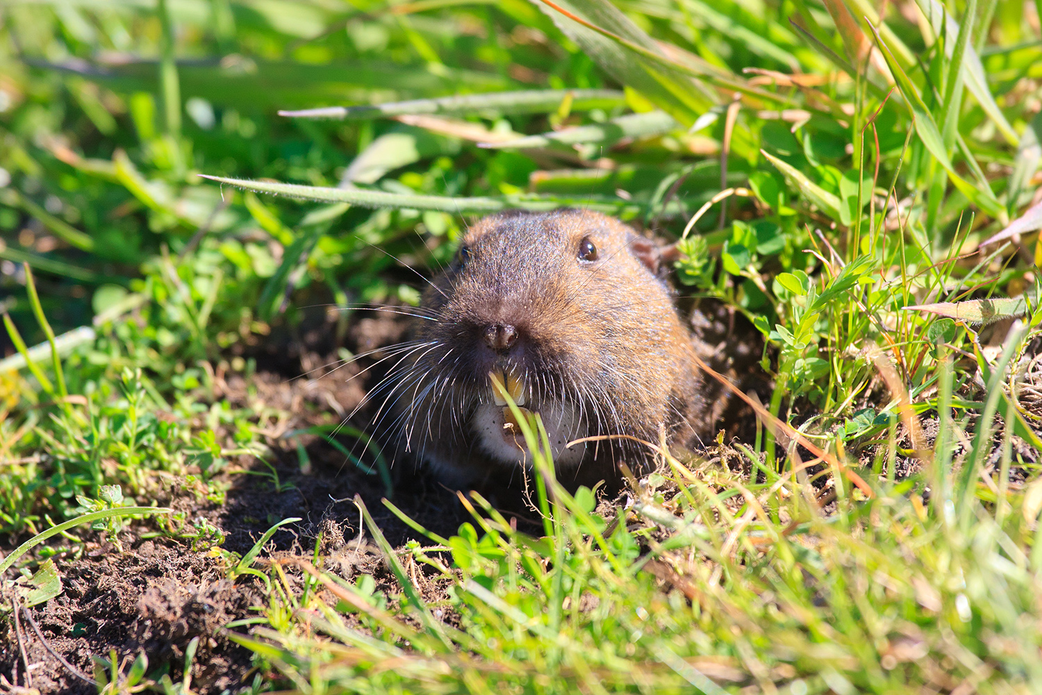 gopher poking its head out of the ground