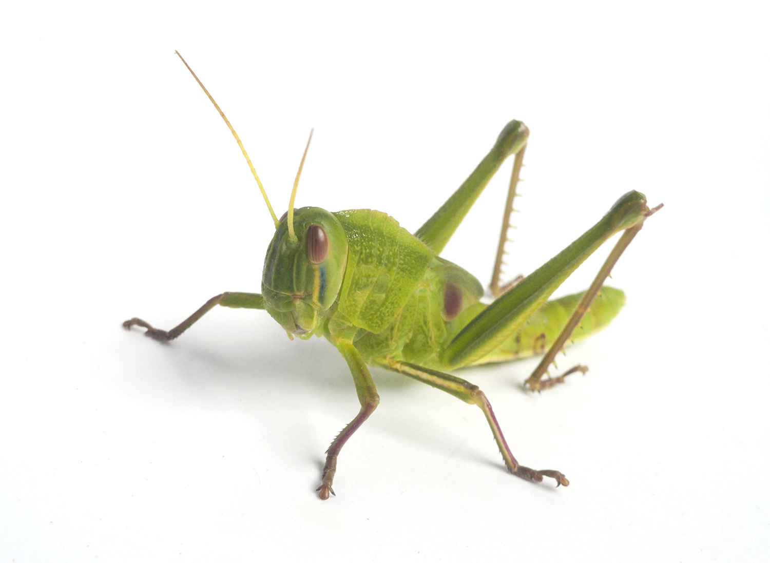 Grasshoppers how to control get rid of grasshoppers How to get rid of crickets in the garden