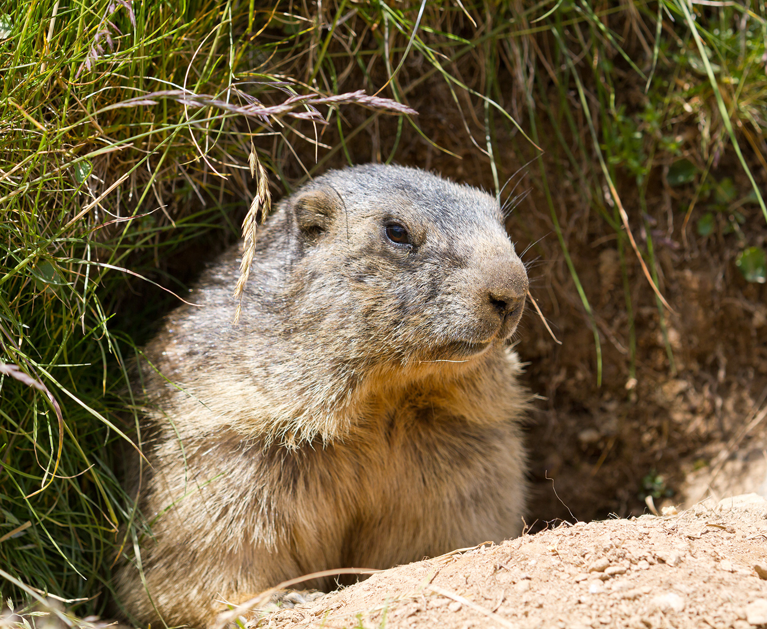 grumpy looking groundhog looking out of hole