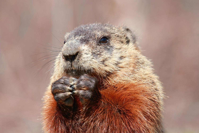 groundhog nibbling