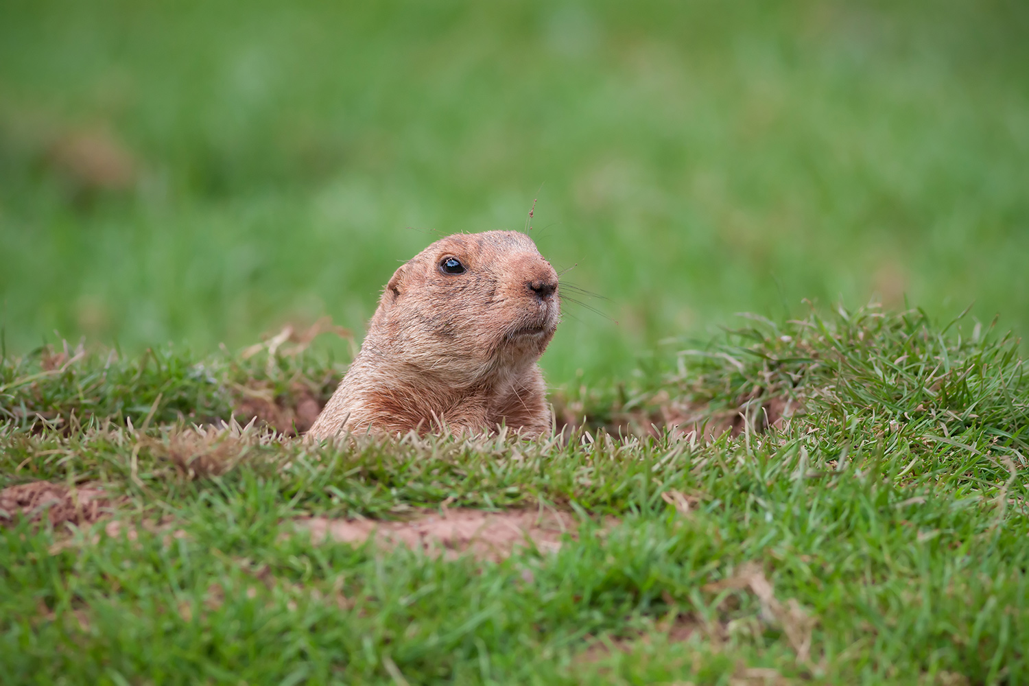 groundhog peeking out of hole