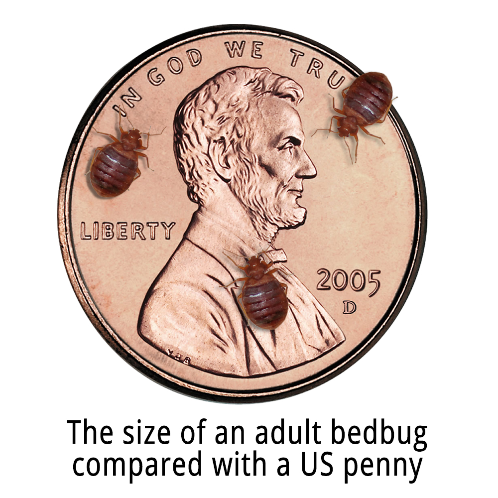How Big Is An Adult Bed Bug