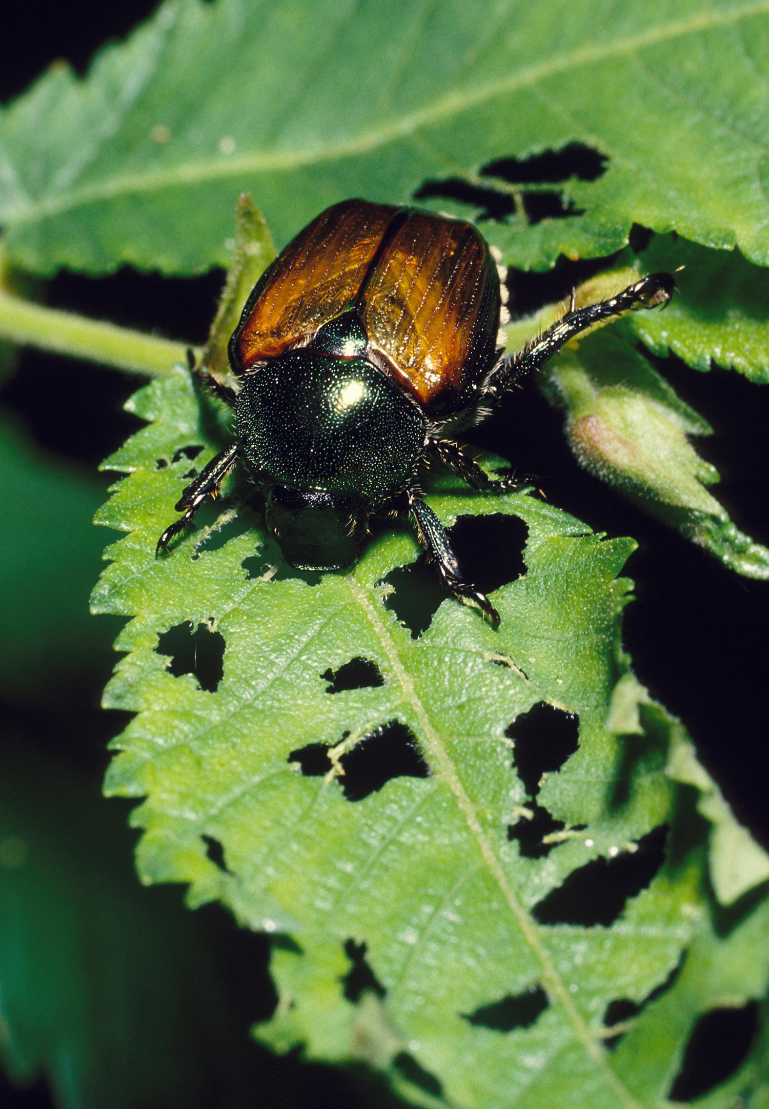 japanese beetle on damaged leaf