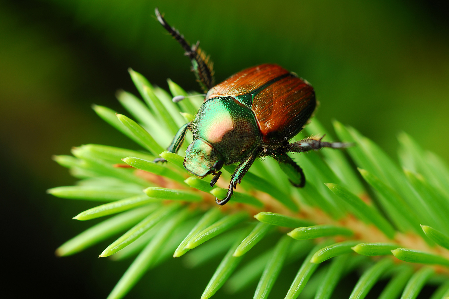 japanese beetle on plant