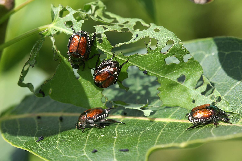 japanese beetles damaging leaf
