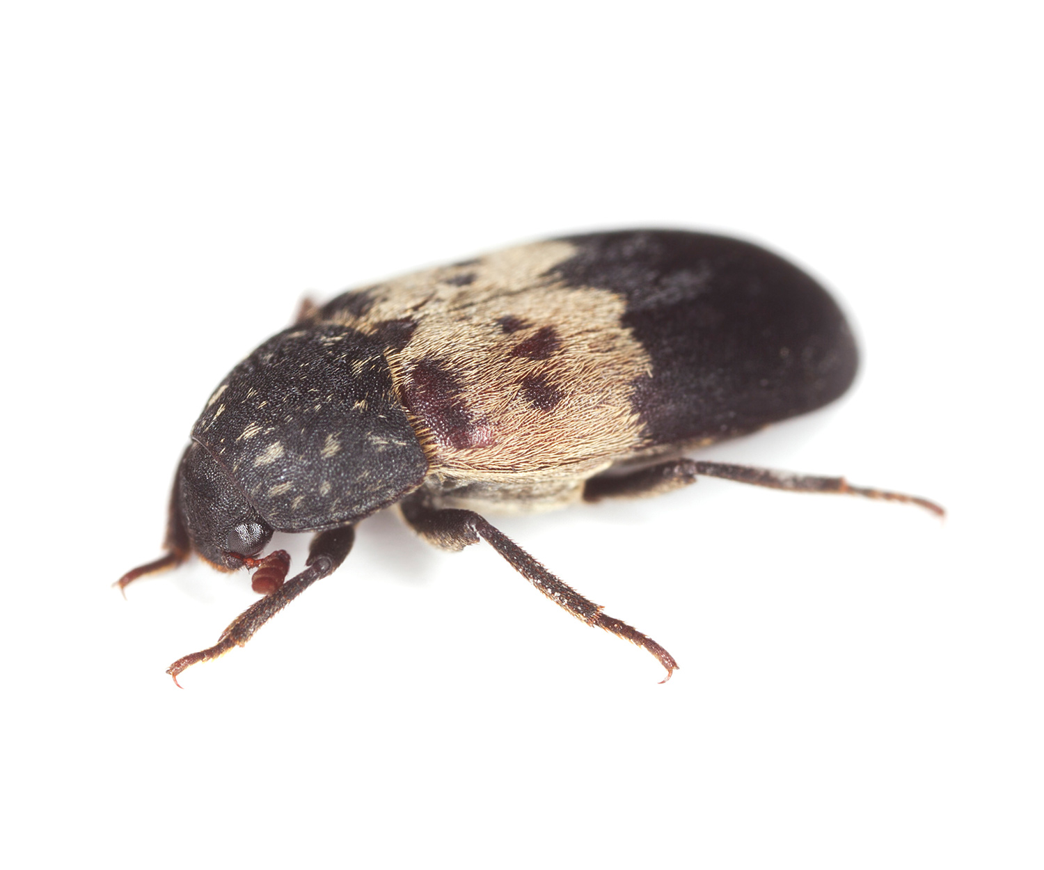 About Larder Beetles. How to Get Rid of Larder Beetles   Larder Beetle Control  Traps