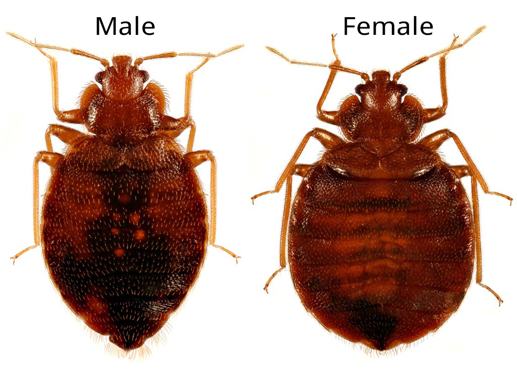 . What Do Bed Bugs Look Like