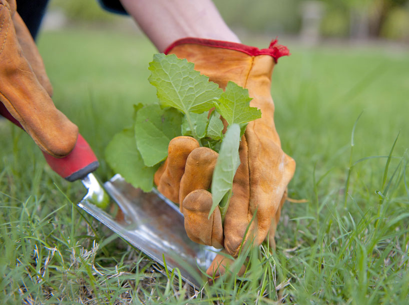 for the most immediate control you can handpull the spurge weeds in your lawn especially if plants are young and you only have a few in your yard