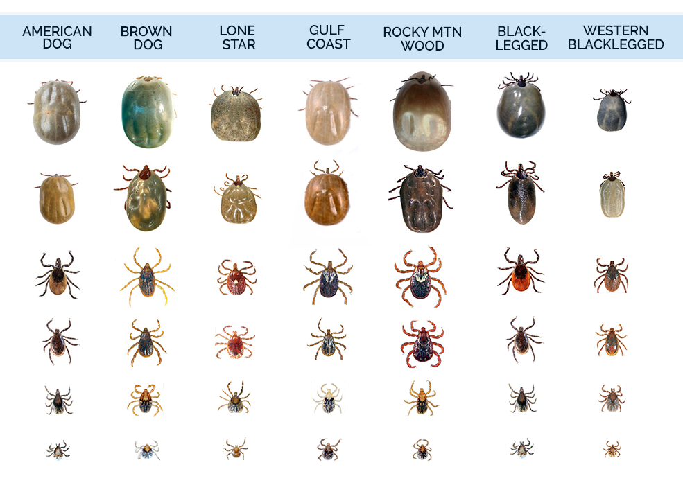 Types Of Deer Ticks Tick Identification What Do Look Like
