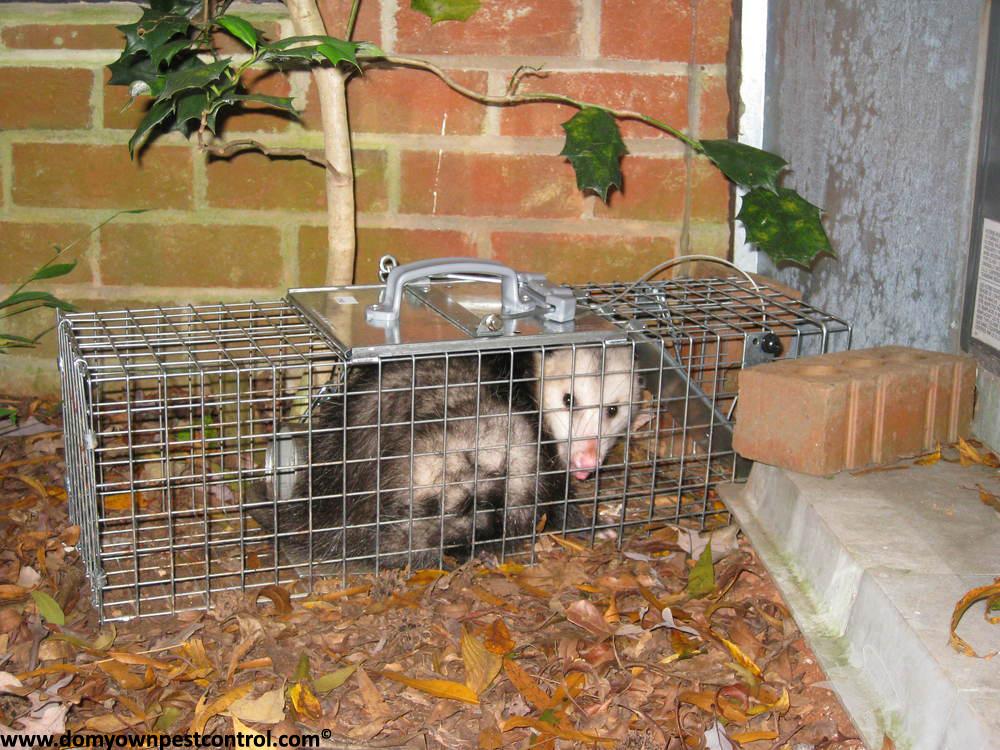 Possum Traps How To Trap A Possum Opossum Trapping