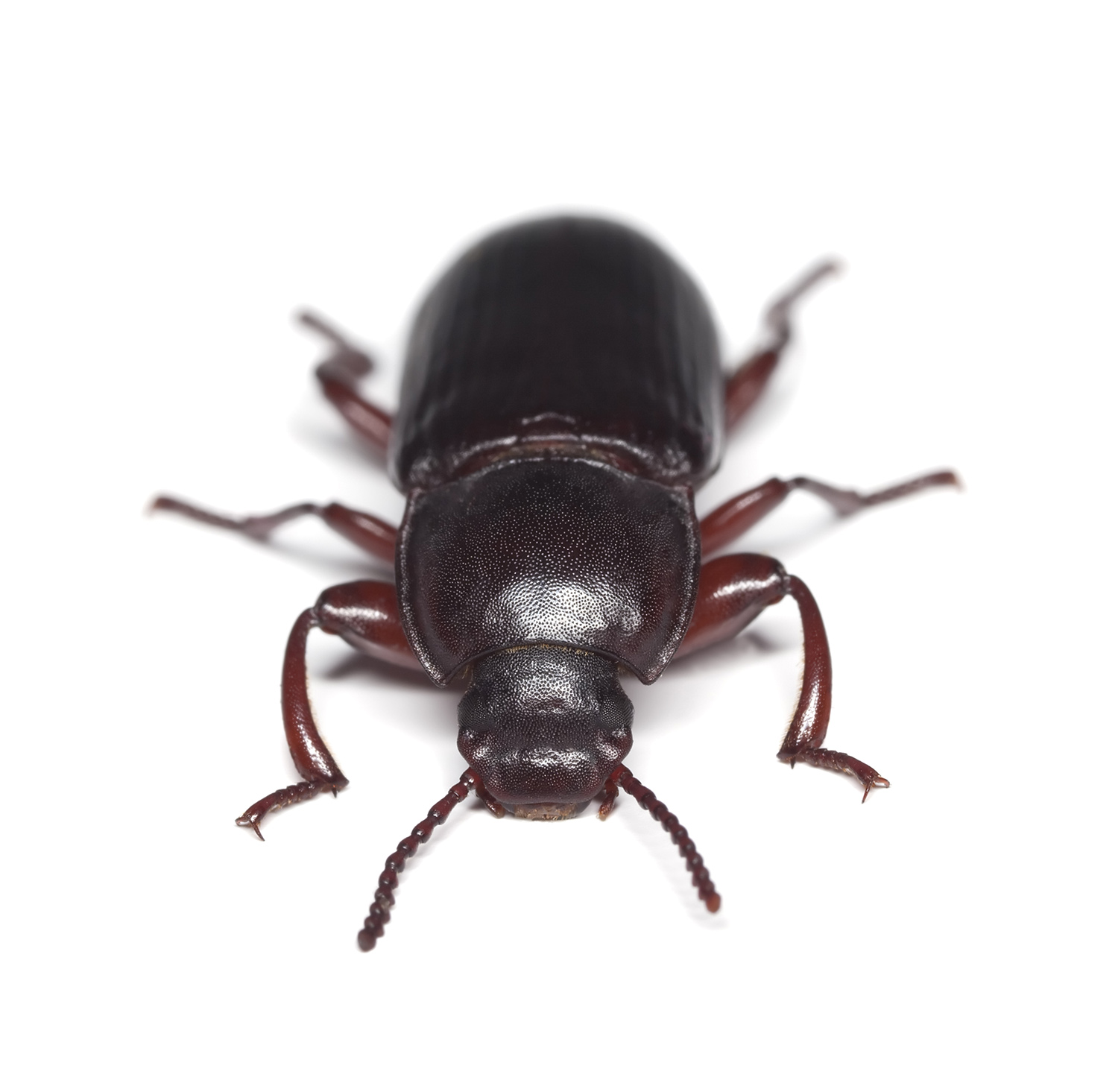 Pantry Beetle Control Flour Beetles How To Get Rid Of