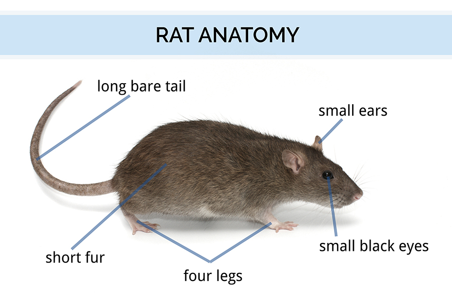 All About Rats | Types of Rats, Locations, and History | Rat Facts ...