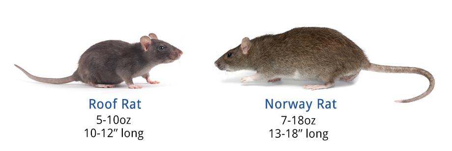 Rat Identification Rat Anatomy Amp Life Cycle
